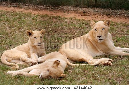 Group Of Lioness