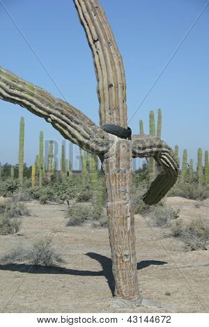 Giant Cordon cactus, Baja, Mexico