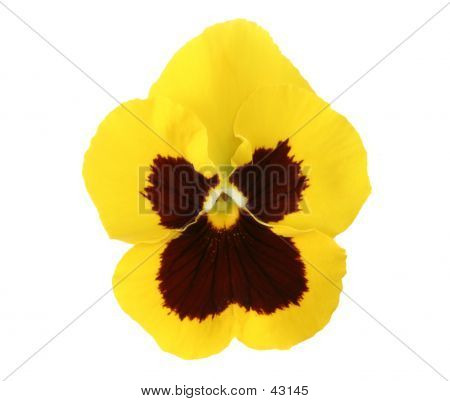 Design Elements: Yellow Pansy