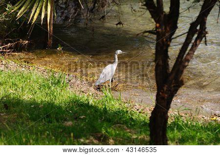Wading Bird In Its Natural Habitat