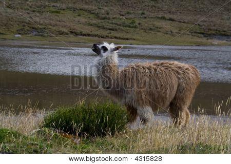 Alpaca Mother