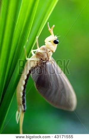 Mayfly (in Hungary)