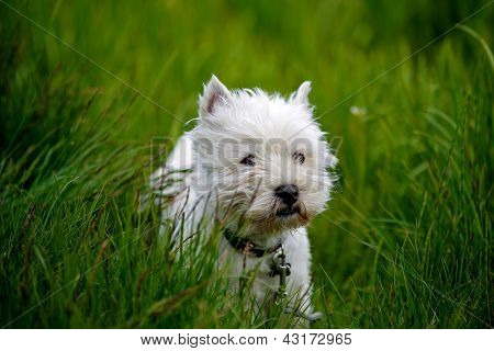 Cure White Westland Terrier Dog