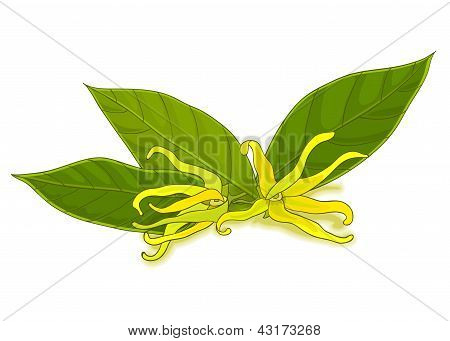 colorful ylang-ylang flowers