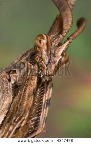 Mantis (empusa Pennata)