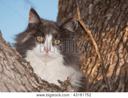 Blue, cream and white diluted calico cat up in a tree, looking at the viewer