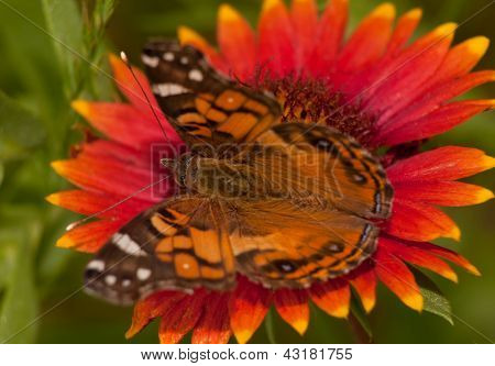 Close-up of an American Painted Lady butterfly feeding on a bright colored Indian Blanket flower