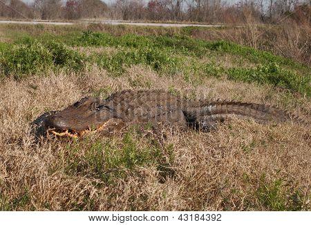 Alligator In The Wild