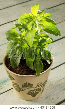 Small stevia plant growing in a rustic clay pot