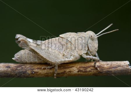 Grasshopper Orthopterous