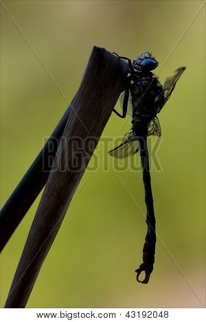 Side Of  Wild  Yellow Black Dragonfly