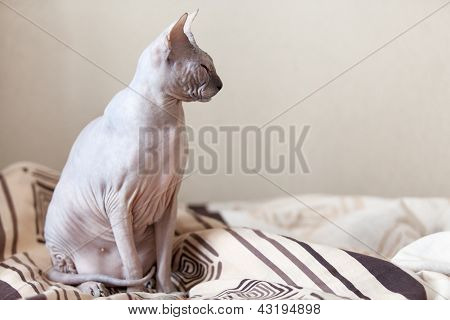 Calm Cat Sphinx Sitting On A Bed In The Bedroom. Copyspace