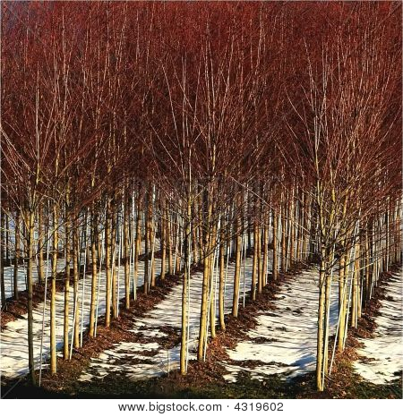 Rows Of Red Trees In Nursery