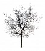image of dead plant  - tree without leaves isolated on white background - JPG