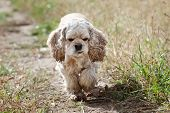 picture of hirsutes  - American Cocker Spaniel  - JPG
