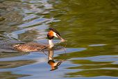 foto of great crested grebe  - Great crested grebe - JPG