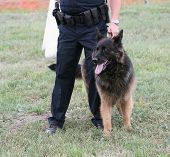 stock photo of belgian shepherd dogs  - Police dog with human partner at demonstration - JPG
