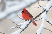 stock photo of cardinal-bird  - A northern cardinal perched on a snow covered branch following a winter storm