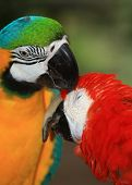 a  pair of macaws