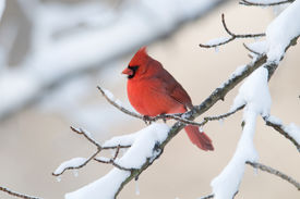 picture of cardinal-bird  - A northern cardinal perched on a snow covered branch following a winter storm  - JPG
