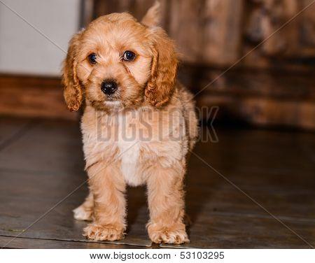 Cockerpoo Puppy Standing
