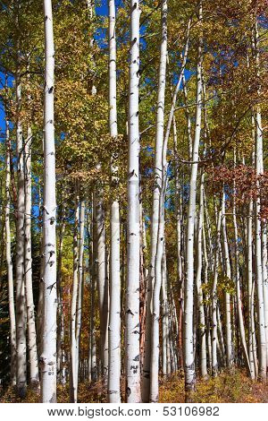 Tall Aspen trees in autumn time