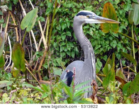 Great Blue Heron In Vegetation