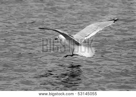 Herring Gull Landing on Water in B&W