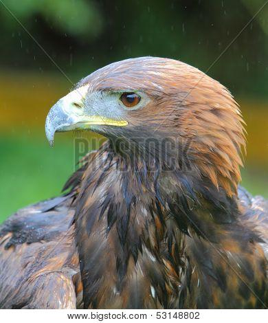 Golden Eagle Headshot