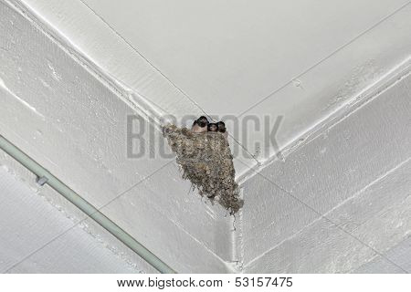 Swallow Feeding Nestling at Wall Corner