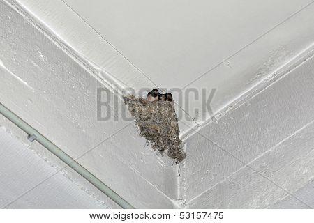 Swallow Feeding Nestling at Wall Corner