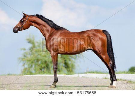 Front animal (Arabian horse - conformation).