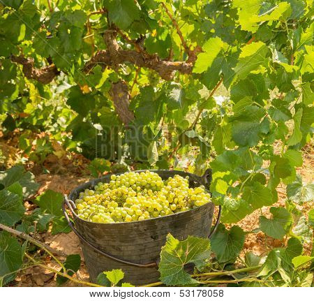 chardonnay harvesting with wine grapes harvest in Mediterranean