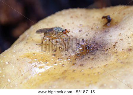 kelp flies - mushroom