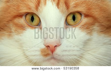Red And White Cat Face Close Up