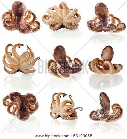 octopus close up macro shot set isolated on white background