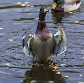 Male Ducks Stands On Its Legs Nad Flaps Its Wings