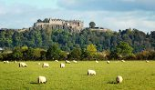 picture of braveheart  - White sheep graze with Stirling castle in background - JPG