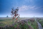 stock photo of rowan berry  - rowan berry tree and flowering heather in morning fog Fochteloerveen Drenthe Netherlands - JPG