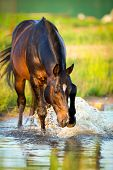 stock photo of bay horse  - Horse splashing in the water at sunset - JPG