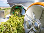 stock photo of crusher  - chardonnay corkscrew crusher destemmer in winemaking with grapes - JPG