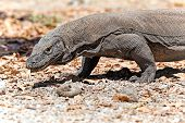 picture of komodo dragon  - Komodo Dragon walking in the wild on Komodo Island - JPG