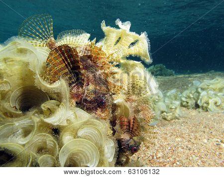 Scorpionfish couple