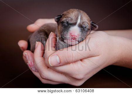 Newborn basenji puppy (first day)