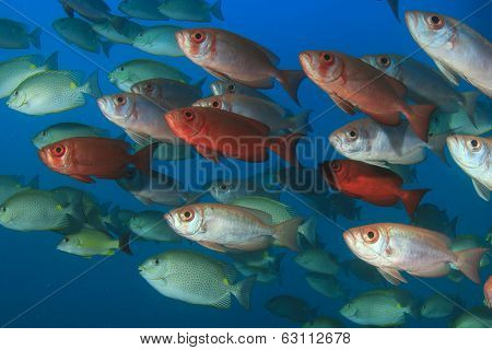 School Crescent-tailed Bigeye Fish