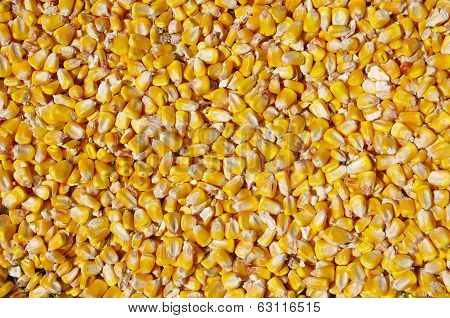 Crumble Corns Of Fodder Maize
