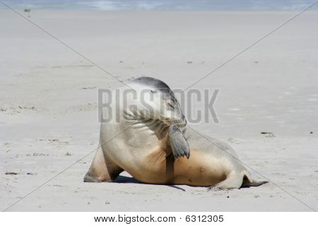 Sea lion, Kangaroo Island, South Australia