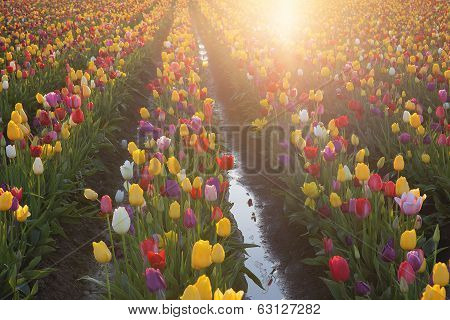 Multi Colors Tulips Glowing In The Sun