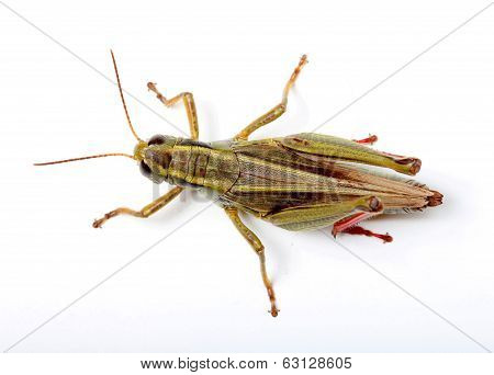 top view of grasshopper