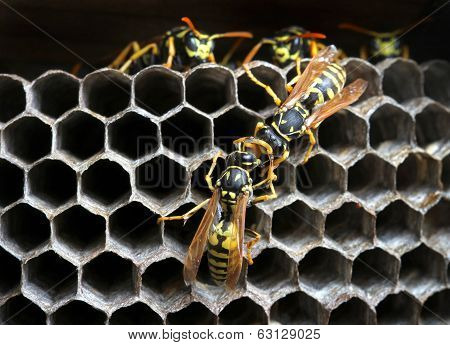 Nest of wasps